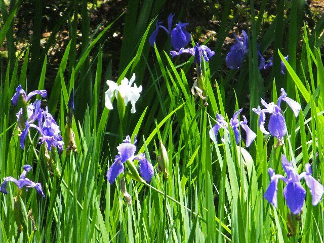 初夏の涼風をあびてカキツバタが心地よさそうに靡いていた。 平安時代の歌人、藤原俊成が「神山や 大