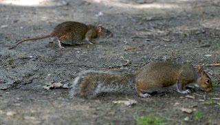 rats are not Squirrels blog