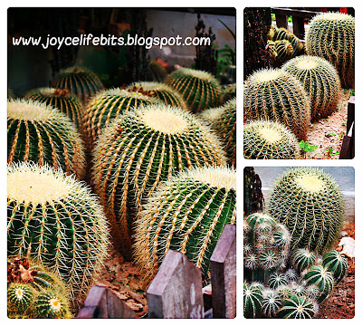 beautiful cactus at cameron highlands