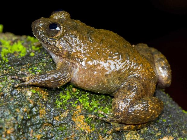 Outra espécie encontrada na floresta Ghats, em Kerala, na Índia.
