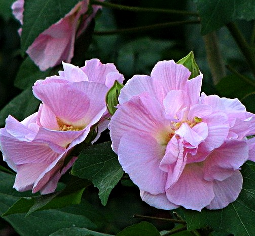 Whispering greens land lotus a magnificent edible flower the land lotus also known as confederate rosecotton rose or cotton rosemallow mightylinksfo