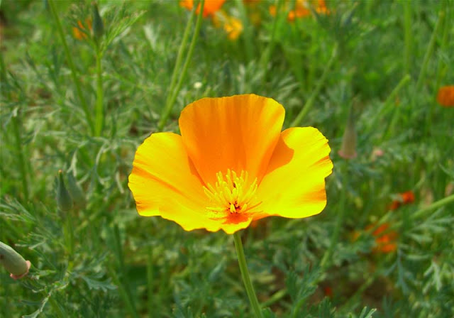 California Poppy Flowers Pictures
