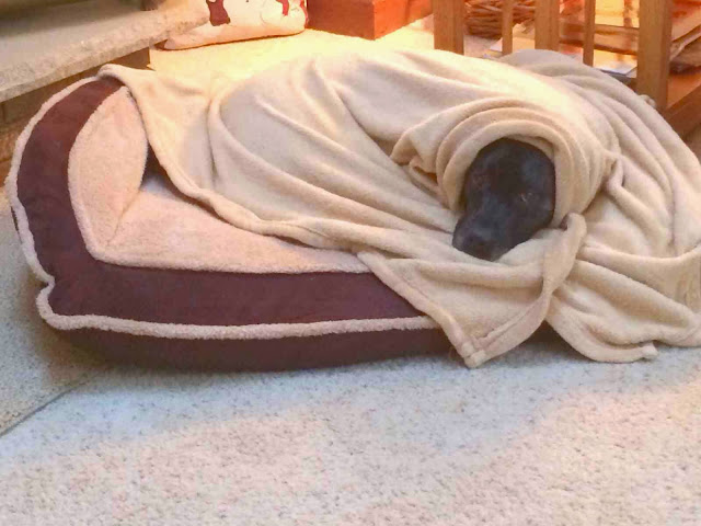Cute dogs - part 3 (50 pics), dog covers himself with blanket