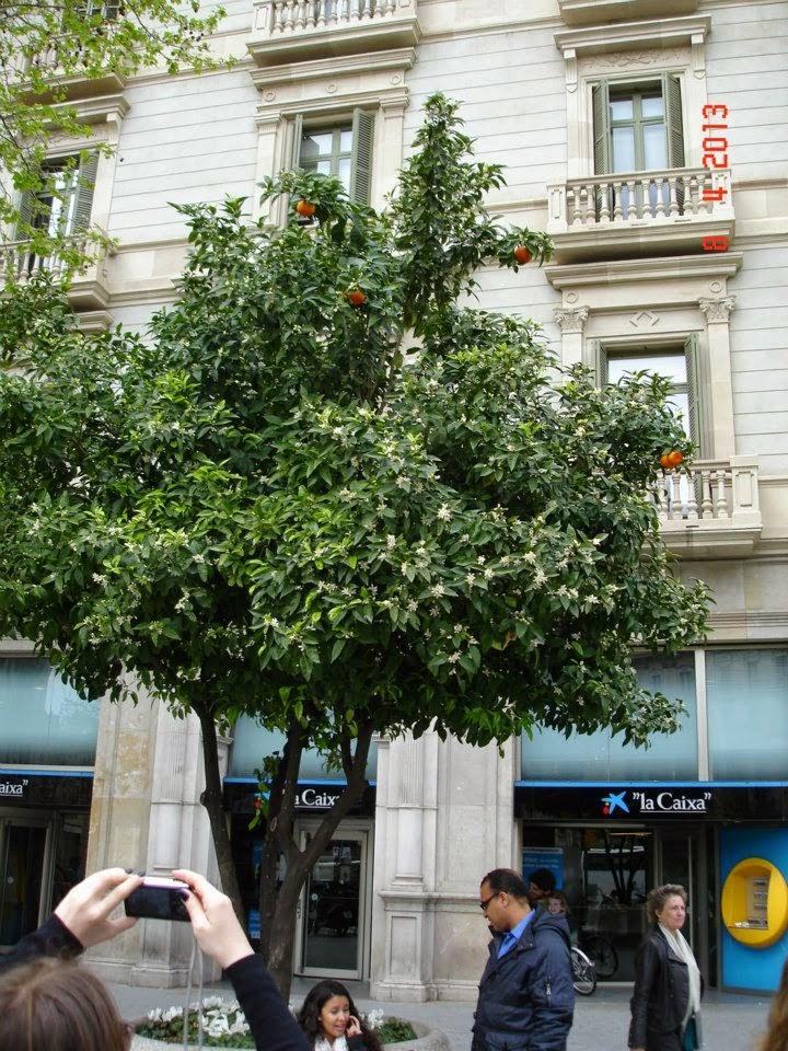 portocal inflorit in Barcelona
