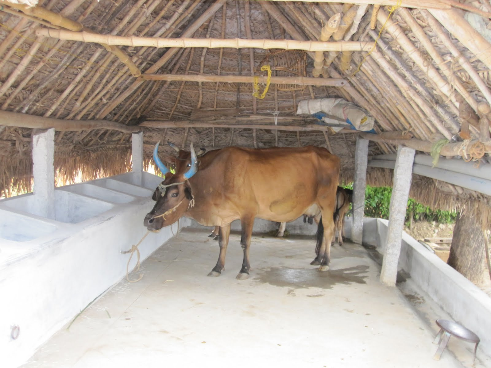 Cow shed where the feeds are provided in the blocks and urine is collected in a ground level storage tank