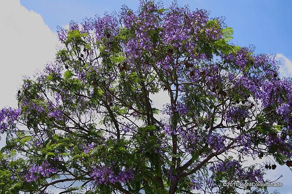 Flowering Jacaranda tree crown