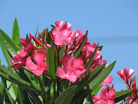 ćebrovke oleander