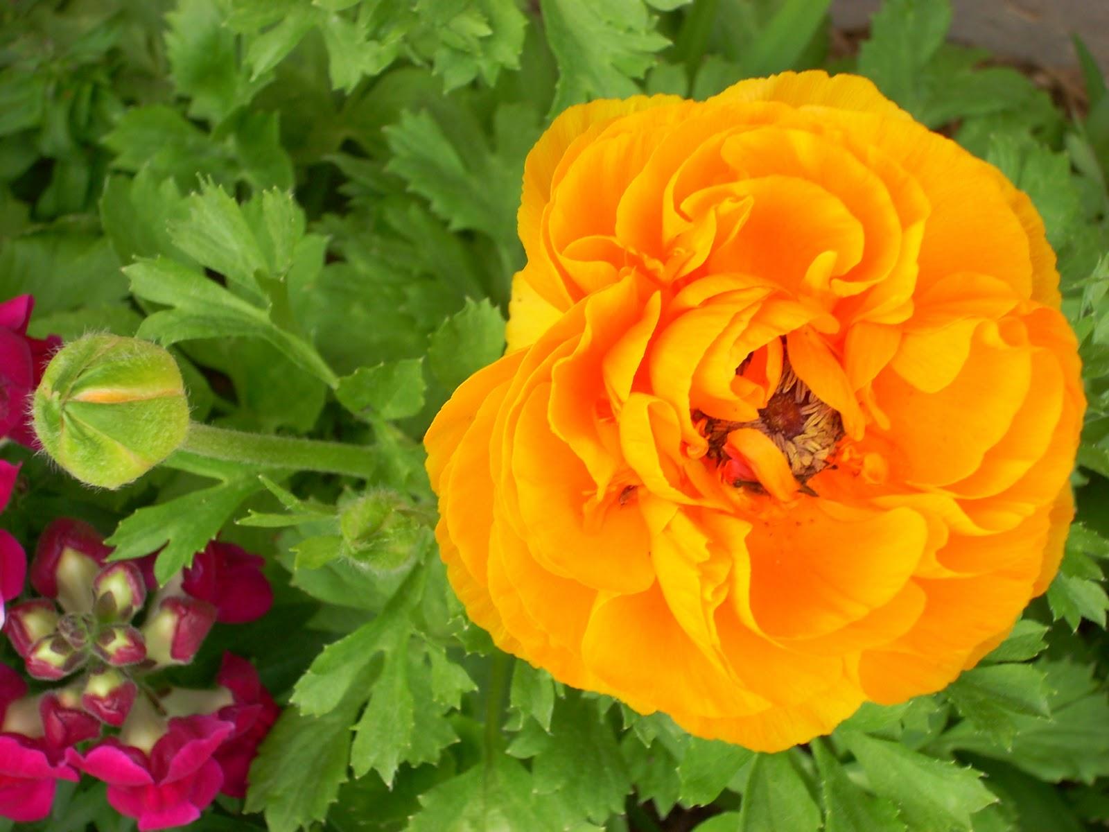 Experiential Gardener Ranunculus Flower Power for Texas Winters