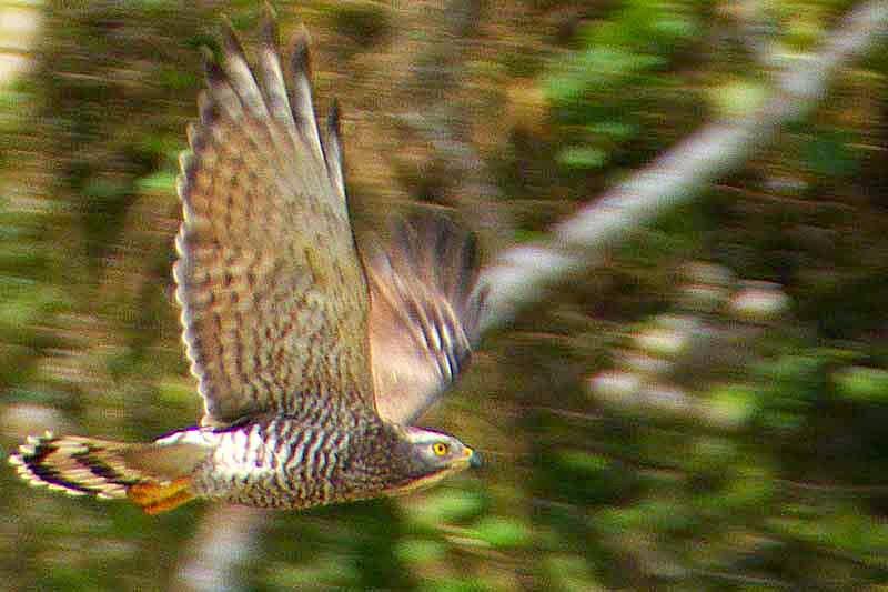 bird, Butastur indicus,flying