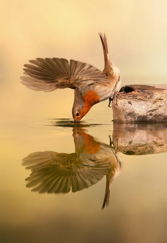 Рыжая птичка Пети пьет воду в озере. Фотограф: Cesar Pastor Quesada
