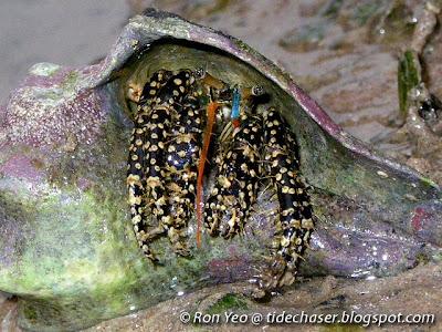 Gold-spotted Hermit Crab (Clibanarius cruentatus)