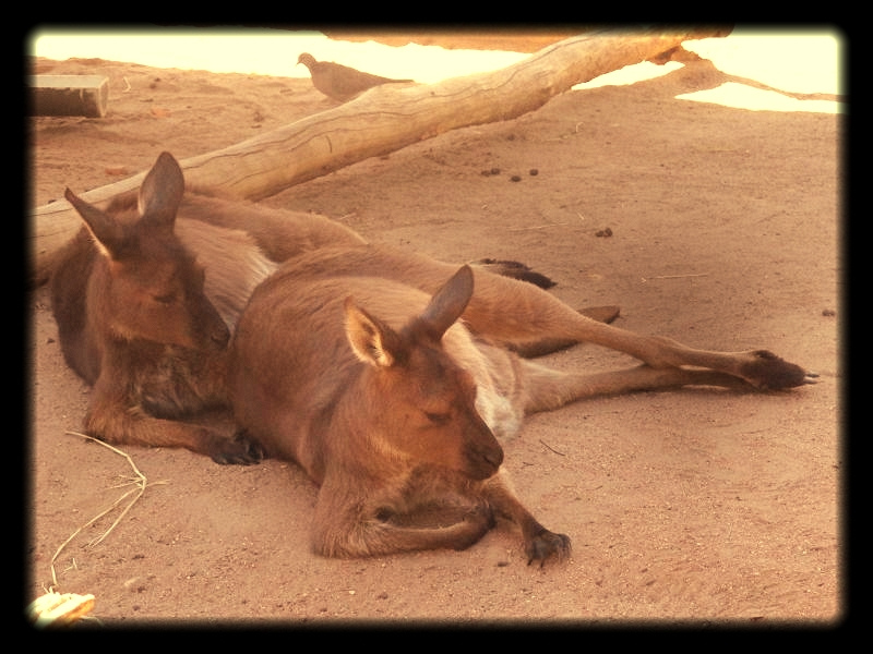 Red kangaroos in the shade at Melbourne Zoo