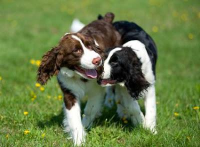 Płeć psa, sterylizacja, suk, suczka, pies, psów, ruja, Cieczka i dojrzałość płciowa, behawiorysta, Justyna Wójcik, jak wychowania psa, wychowanie psa, szkolenie, Wrocław,
