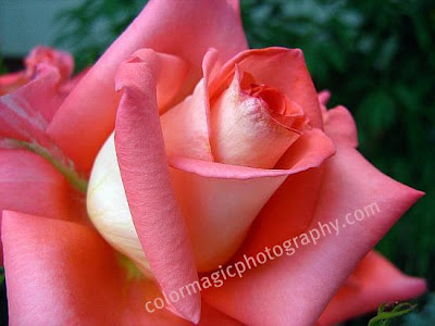 Rose unfolding-closeup