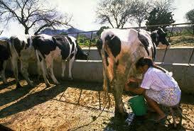 Dairy+farming