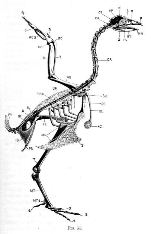Left half of the skeleton, gallus bankiva var. domestica, The skull, vertebral column, and sternum are bisected in the median plane.