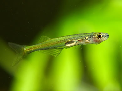 ... of cyprinid fish from Burma, one of the Smallest Living Vertebrates