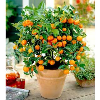 dwarf orange tree
