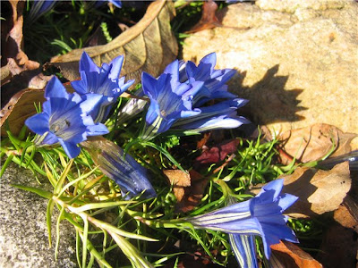 Hoa Gentiana sino-ornata anh dep cac loai hoa hinh dep cac loai hoa hinh thien nhien dep