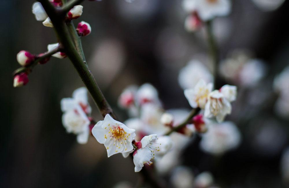 日本的な梅の写真
