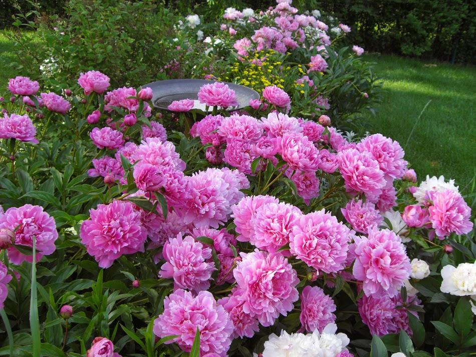 pink flowers peony пионы