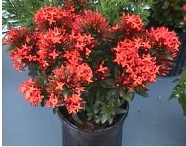 planta ixora, ixora, ichora, plantas para terraza, plantas de terraza, planta de flores rojas, plantas para balcón, una planta para balcón, planta en una maceta negra, planta de flores rojas en una maceta negra