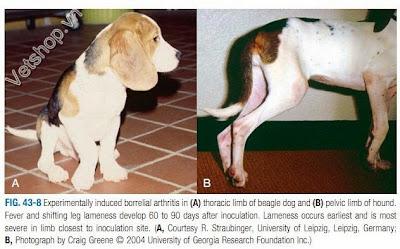 Hình 4: Què một chân kéo dài vài ngày và sau đó có thể chuyển sang chân khác bị què hoặc khỏi hẳn.