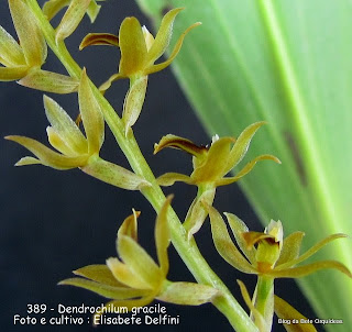 Platyclinis gracilis, Acoridium gracile