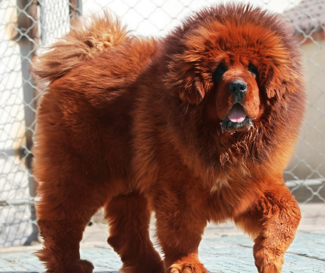 Big Red Long Haired Dog