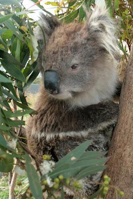 koala-mas-viejo-del-mundo