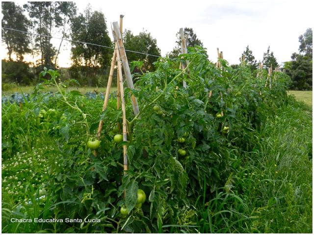 Tomates en la huerta - Chacra Educativa Santa Lucía