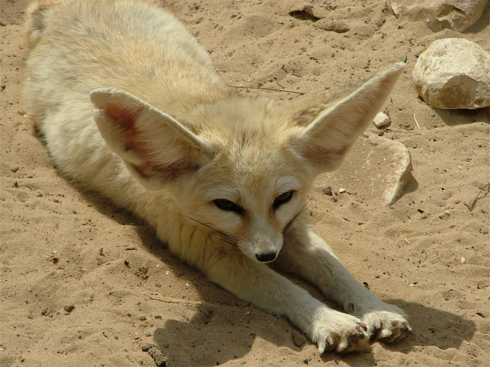 Foxes in the desert - photo#19