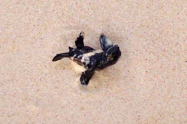 baby sea turtle struggles