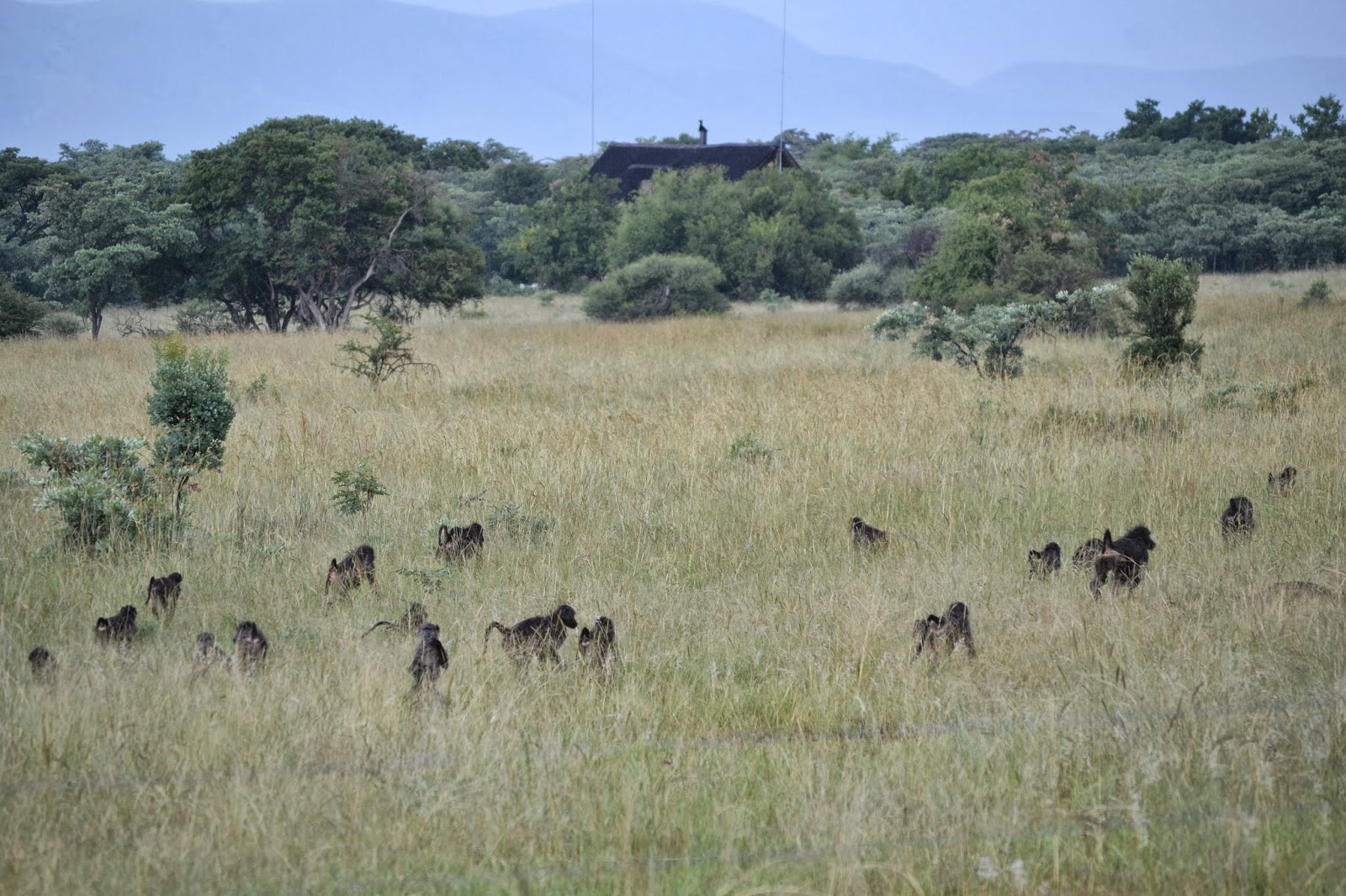 Troupe of baboons in the veld