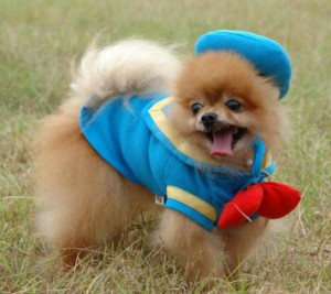 Cute_Pomeranian_Puppies_Pictures_3.jpg
