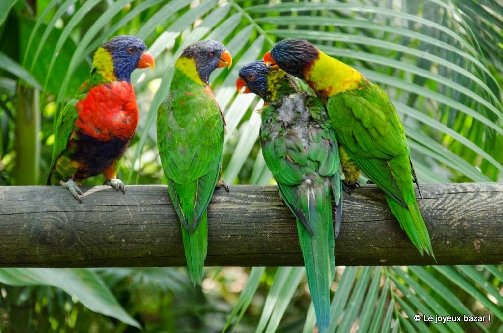 Guadeloupe  -Deshaies - jardin botanique - loriquets