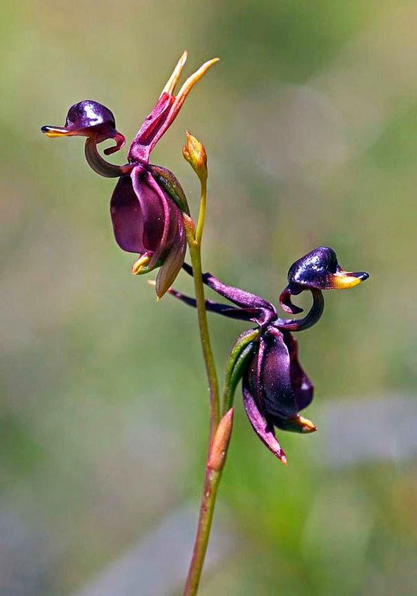 цветок утка