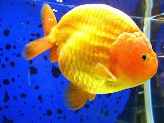 golden fish rabchu yellow