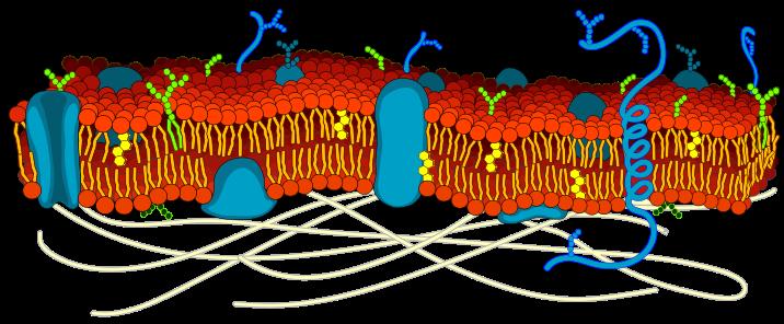 Modelo de la bicapa lipídica