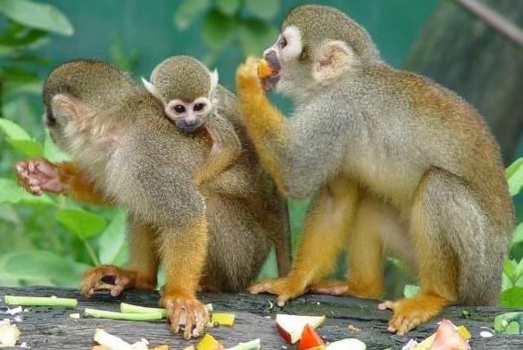 Foto de monos en familia comiendo