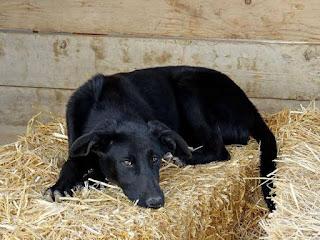 κλαπη σημερα σκυλιτσα απο την περιοχη του Αλυσσου Αχα'ι'ας.Ειναι μαυρη,κοντοτριχη,ενος ετους,στειρωμενη και μεγαλοσωμη