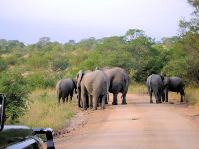 Stado słoni w Parku Krugera w okolicach Skukuzy