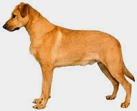 The Akc Recognizes Iii Novel Canis Familiaris Breeds Inwards 2013 | Run Across The Breeds