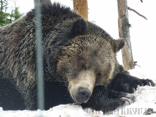 Grizzly bear on Grouse Mountain