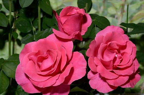 Romanze rose сорт розы фото