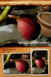 Buah Tin Variety Red Khurtmani