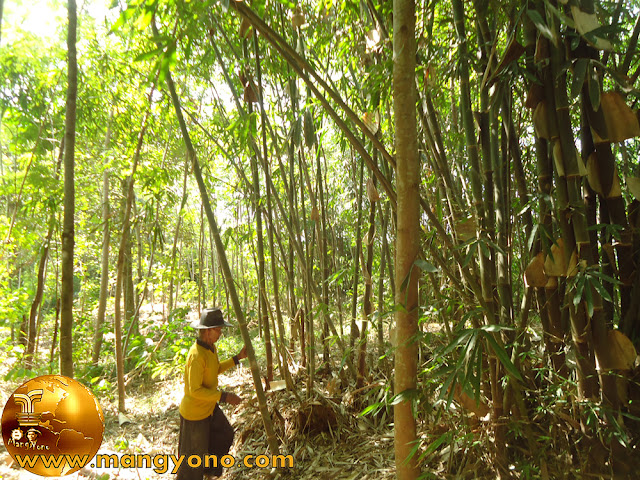 Ciri – ciri pohon bambu yang sudah tua