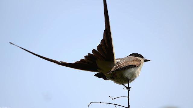 Fork-tailed Flycatcher Tyrannus savana Tesourinha Tesoura Tijereta