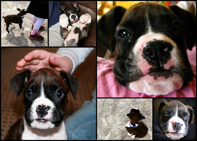 boxer puppy   collage