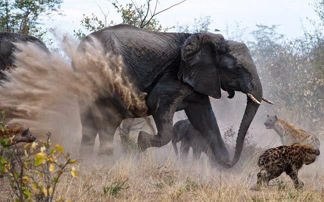 Μάχη Ελεφαντίνας να σώσει το μικρό της από ύαινες